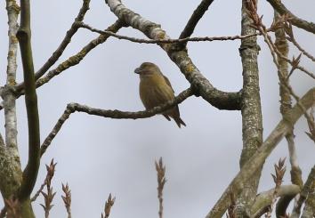 Parrot Crossbill, Santon Downham 23rd March