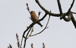 Parrot Crossbill, Santon Downham 23rd March