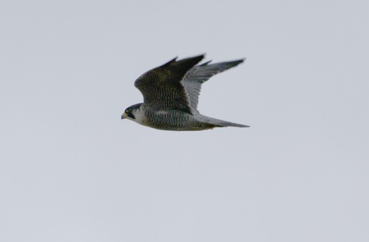 Peregrine, Cockley Cley 13th February
