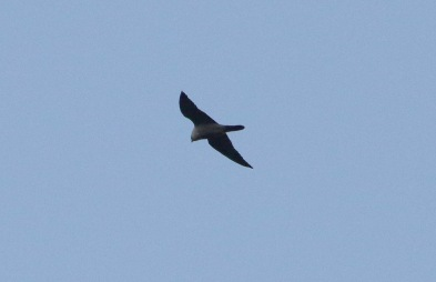 Peregrine near Cockley Cley 5th February