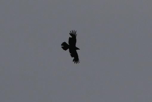 Raven, near Cockley Cley, 29th April