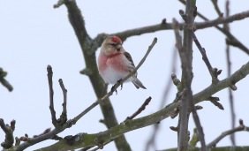 Lesser Redpoll, Cockley Cley 18th March