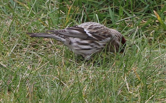 Mealy Redpoll, Cockley Cley. 20th March