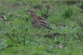 Stone Curlew, Cockley Cley, 29th April