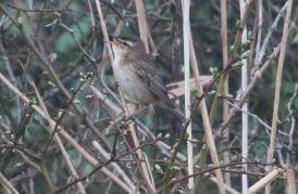 Sedge Warbler, Burnham Overy Dunes 15th April