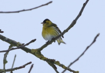 Siskin, Cockley Cley 18th March