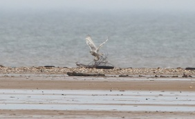 Snowy Owl, Thornham, 10th March