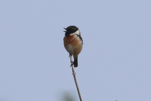 Stonechat, Burnham Overy Dunes 15th April