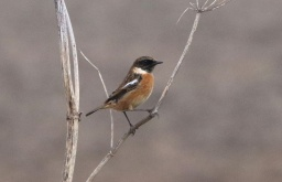 Stonechat, Setch 12th January