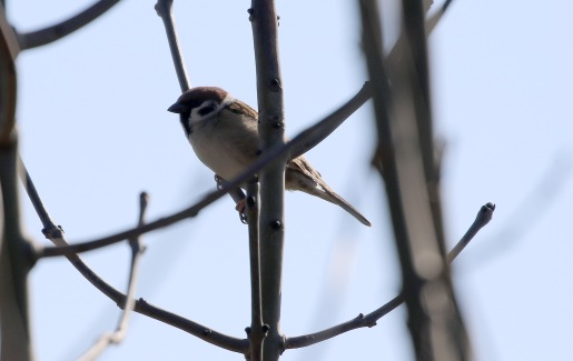 Tree Sparrow, Great Cressingham, 19th March