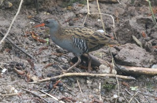 Water Rail, Titchwell 10th April