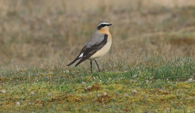Wheatear, Burnham Overy Dunes 15th April