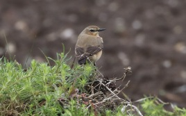 Wheatear, Cockley Cley, 29th April