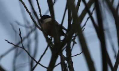 Willow Tit, 6th March