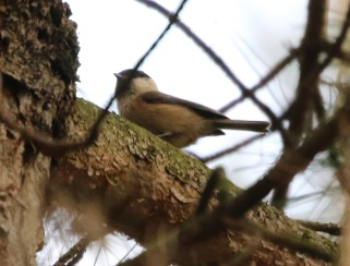 Willow Tit, Cockley Cley 21st March
