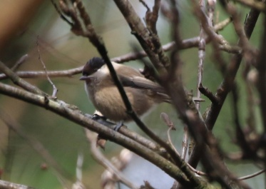 Willow Tit, Cockley Cley, 26th March