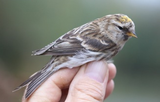 Lesser Redpoll, Cockley Cley 8th April