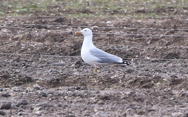 Yellow-legged Gull, Cockley Cley 2nd April