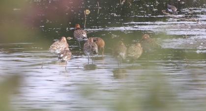 Black-tailed Godwit, Wissy BF 15th July