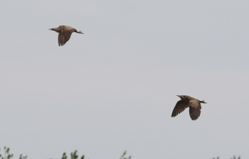 Bittern, Lakenheath Fen, 14th May