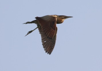 Bittern, Lakenheath Fen 7th July