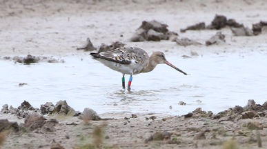 Black-tailed Godwit, Frampton, 23rd August