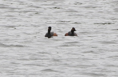 Black-necked Grebe, 16th May
