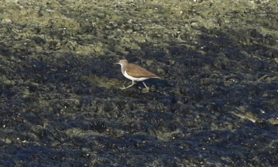Common Sandpiper, Cockley Cley 15th July