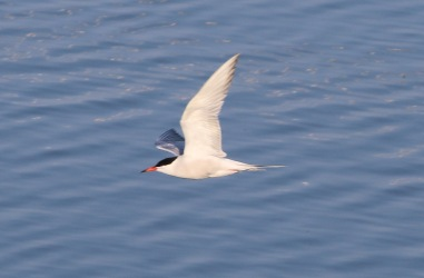 Common Tern, Cockley Cley 15th July