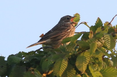 Corn Bunting, Shouldham 2nd May