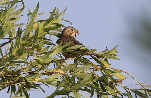 Corn Bunting, Methwold, 15th July