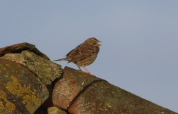 Corn Bunting, Shouldham 15th May