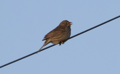 Corn Bunting, Shouldham, 17th May