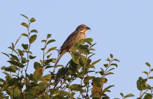Corn Bunting, Shouldham. 16th July