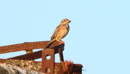 Corn Bunting, Shouldham 16th July