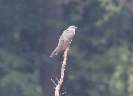 Cuckoo, Thetford Forest, 29th June