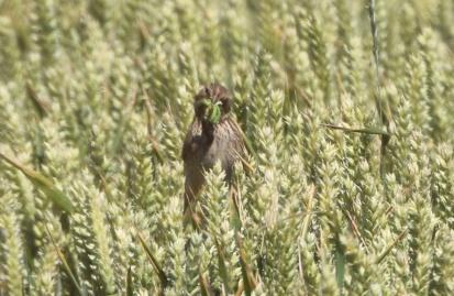 Corn Bunting, Shouldham 6th July