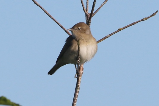 Garden Warbler, Cockley Cley, 14th May