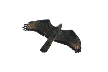 male Honey Buzzard, Lakenheath Fen, 27th May