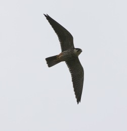 Hobby, Lakenheath Fen, 14th May