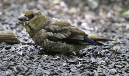 immature female Hawfinch, 29th June