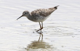 Lesser Yellowlegs, Titchwell 18th July