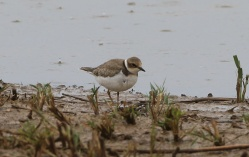 Little Ringed Plover, Cley, 27th August