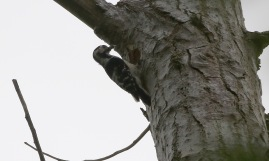 female Lesser-spotted Woodpecker, May