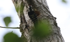 male Lesser-spotted Woodpecker, May