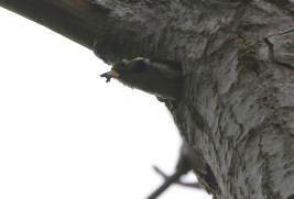 Lesser-spotted Woodpecker, 14th May