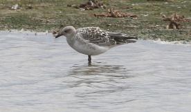 Mediterranean Gull, Titchwell 18th July