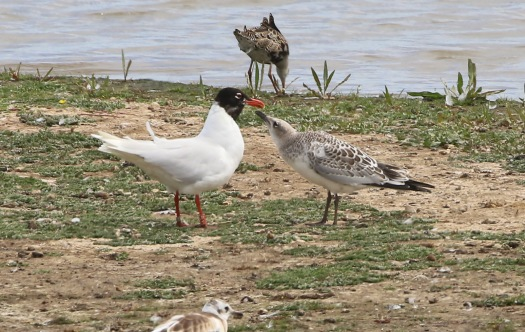 Mediterranean Gull, Titchwell 18th July