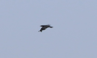 Raven, near Cockley Cley 5th May