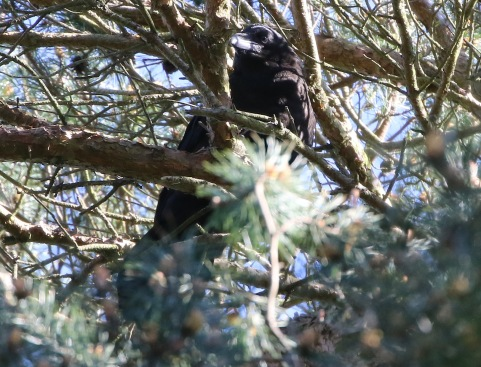 Raven, immature, 19th May